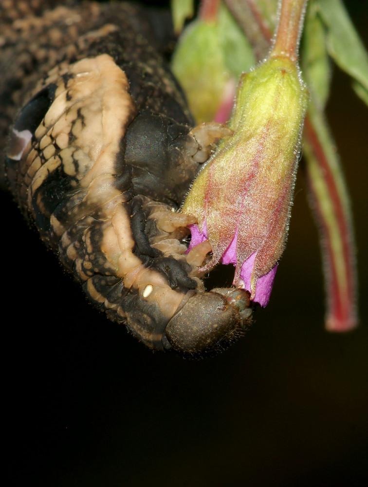 Die letzten Blüten von den Weidenröschen ....