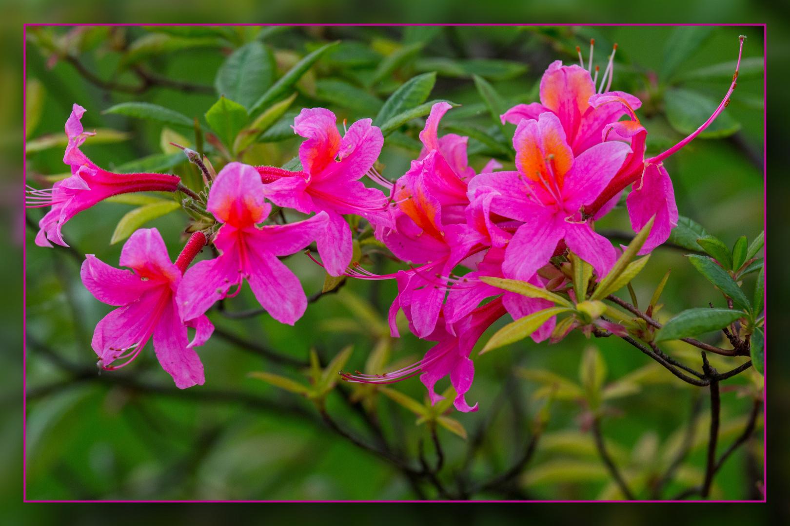 Die letzten Fühlingsblüten 03