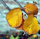 Die letzten Goldenen Blätter