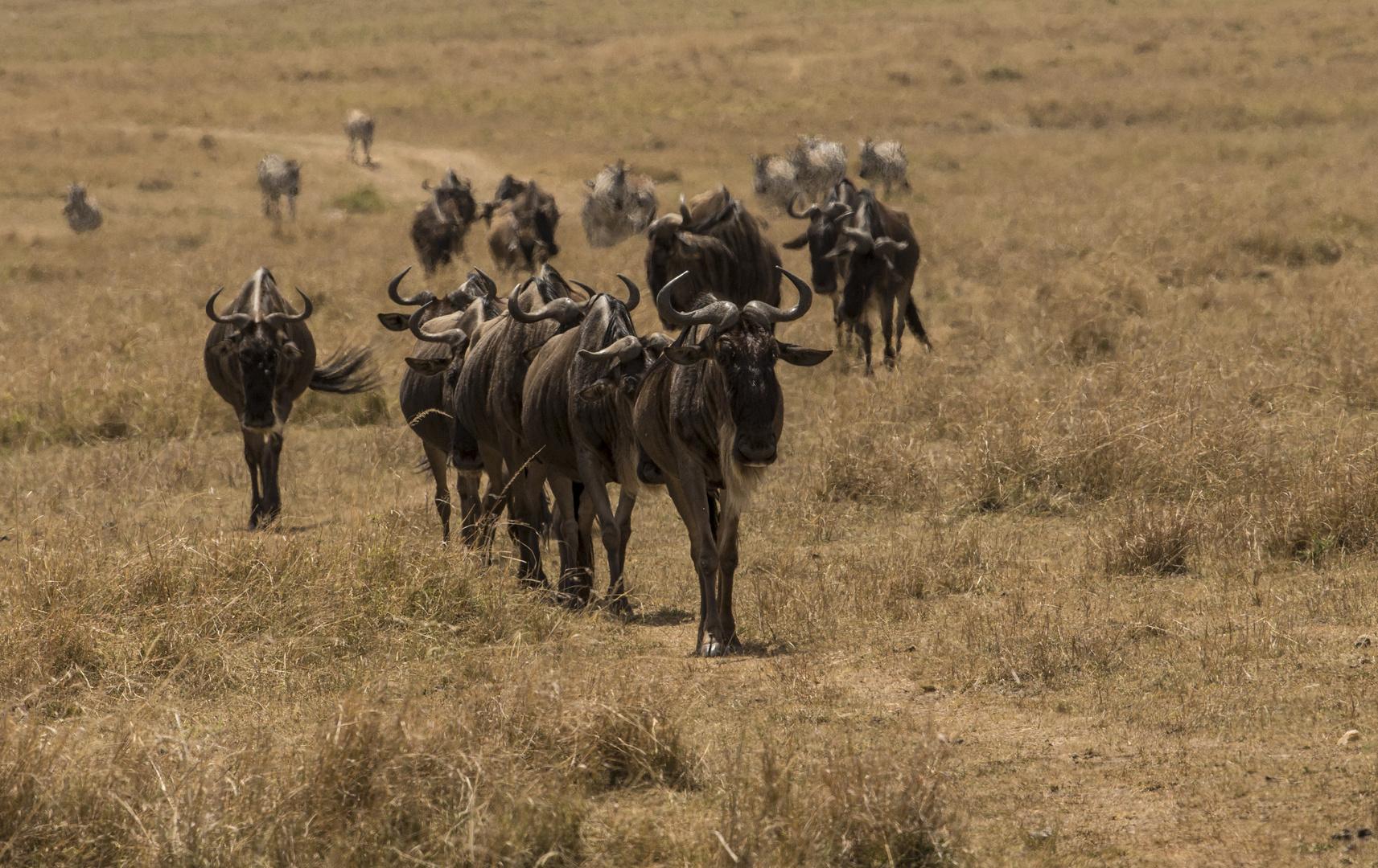Die letzten Herden