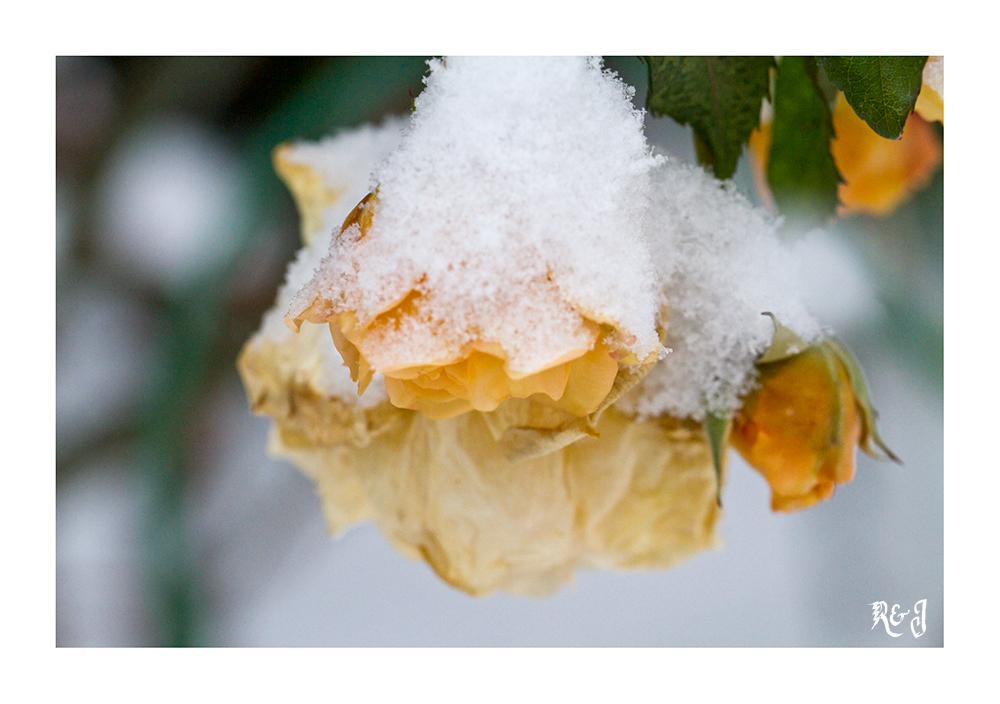 Die letzten Rosen......