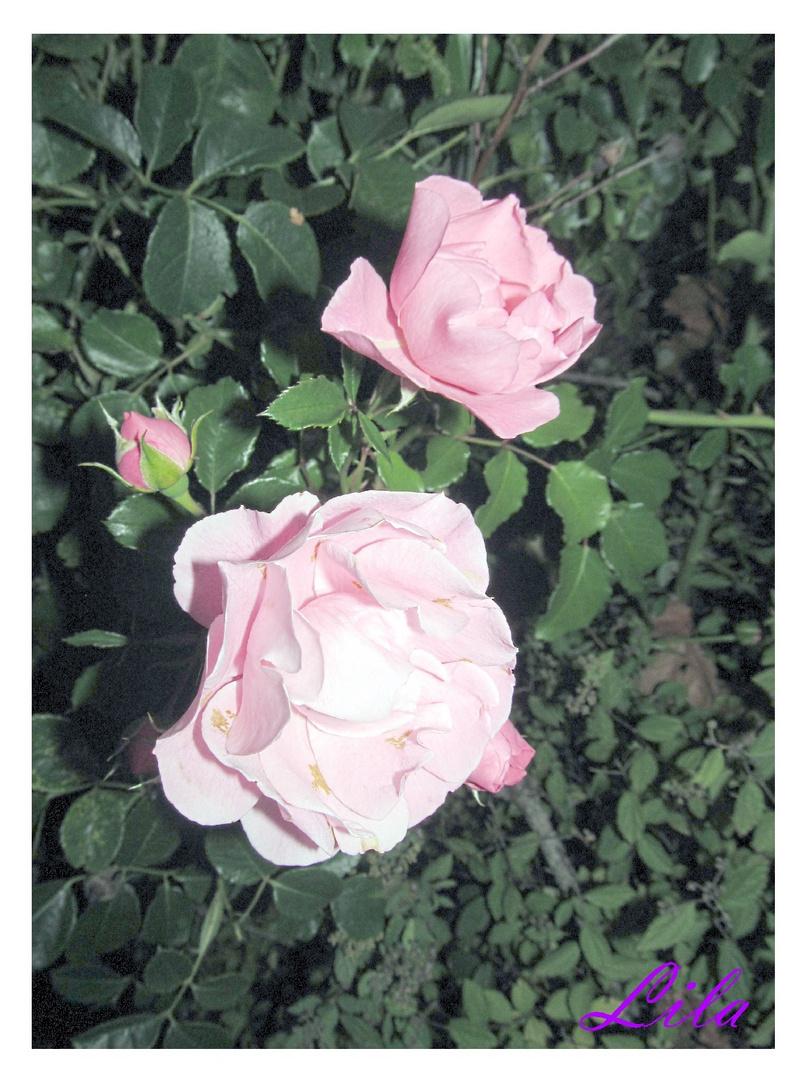 die letzten Rosen ........