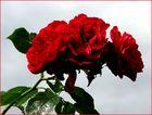 Die letzten Rosen aus dem Schrebergarten