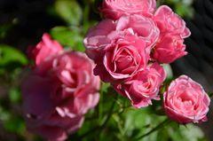 Die letzten Rosen....