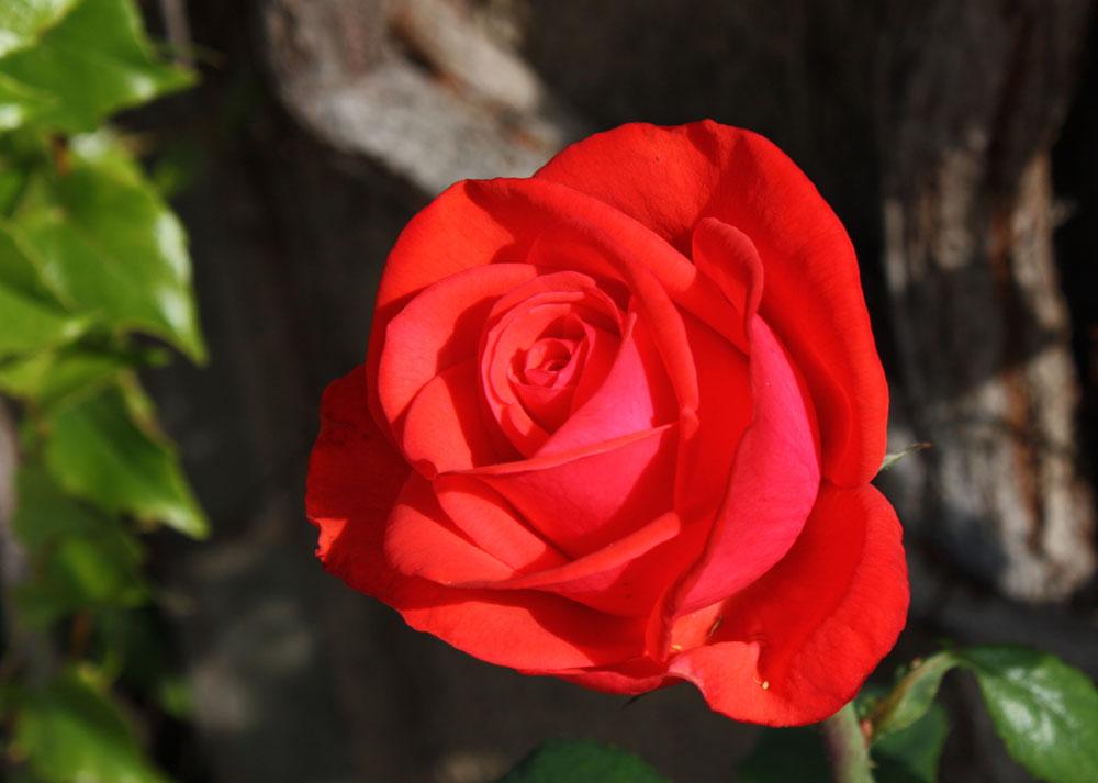 die letzten Rosen des September (1)