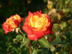 Die letzten Rosen im Jahr