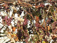 Die letzten Weintrauben