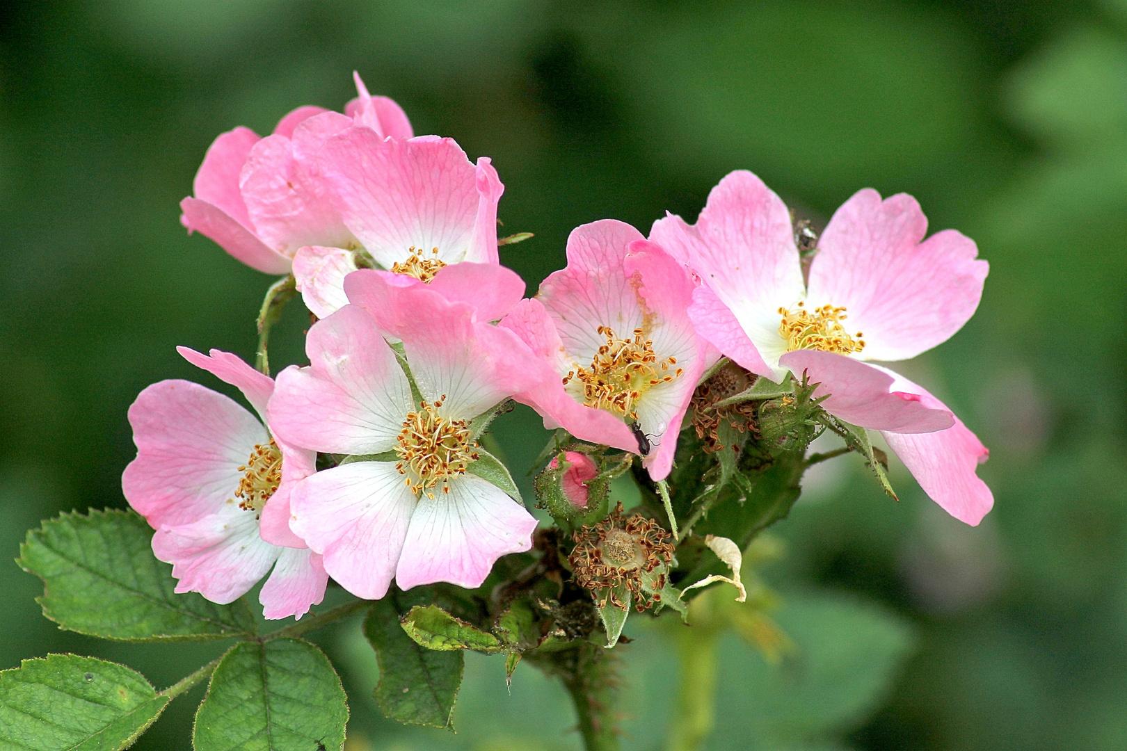 die letzten wilden Rosen