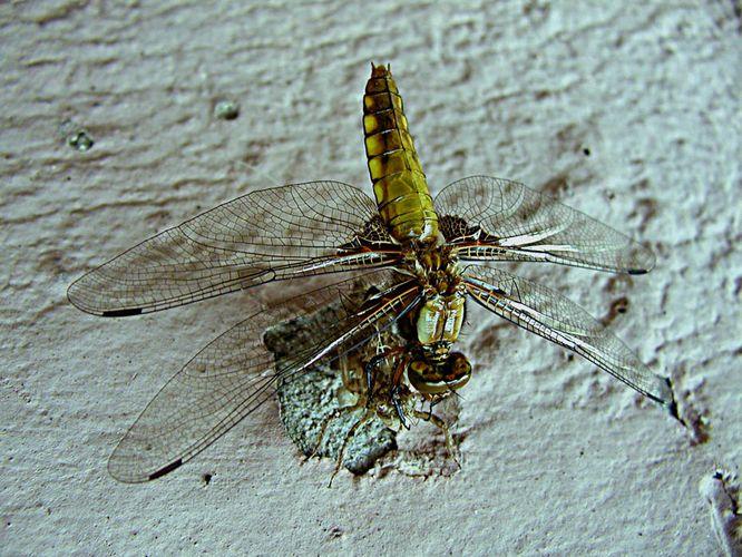 Die Libelle **3**