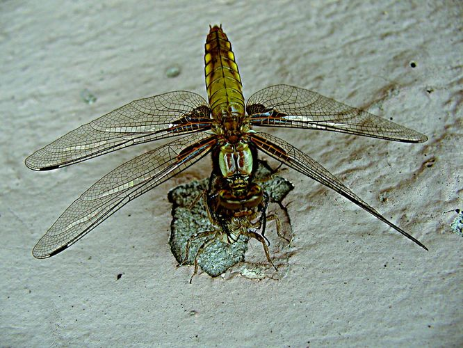 Die Libelle **4**