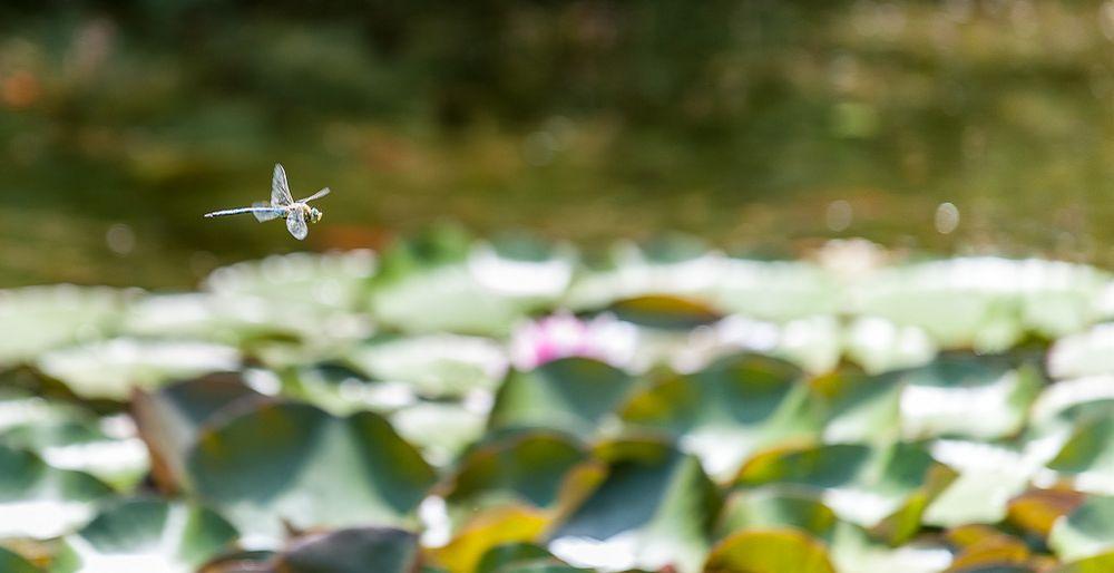 Die Libelle im Flug