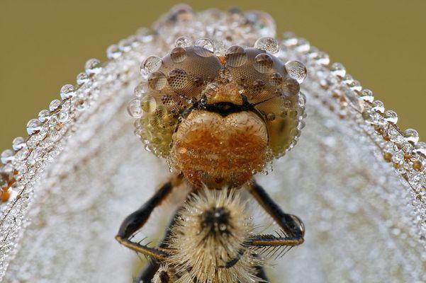 Die Libelle im Schleier