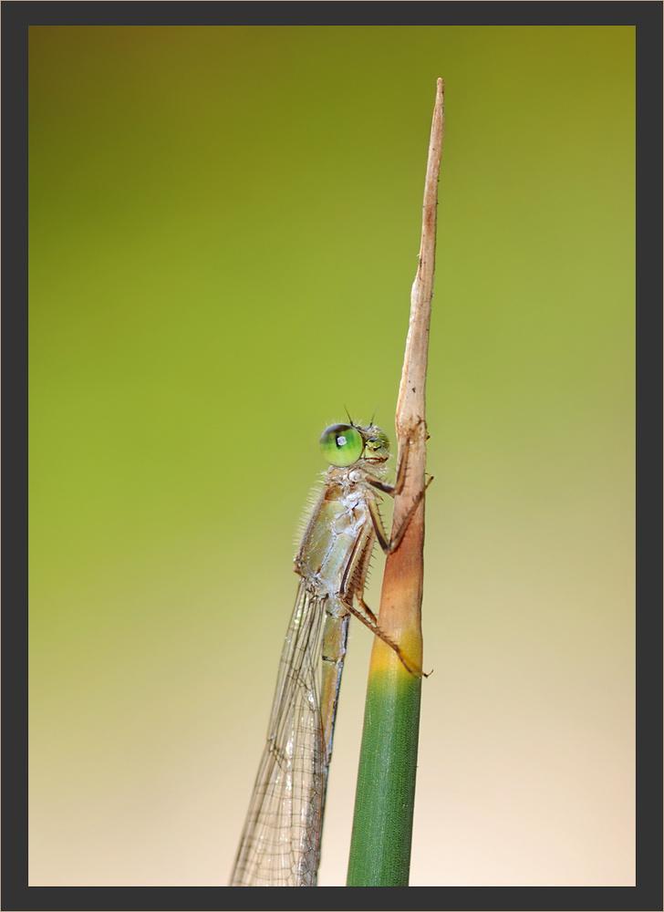 Die Libelle (n) Rakete