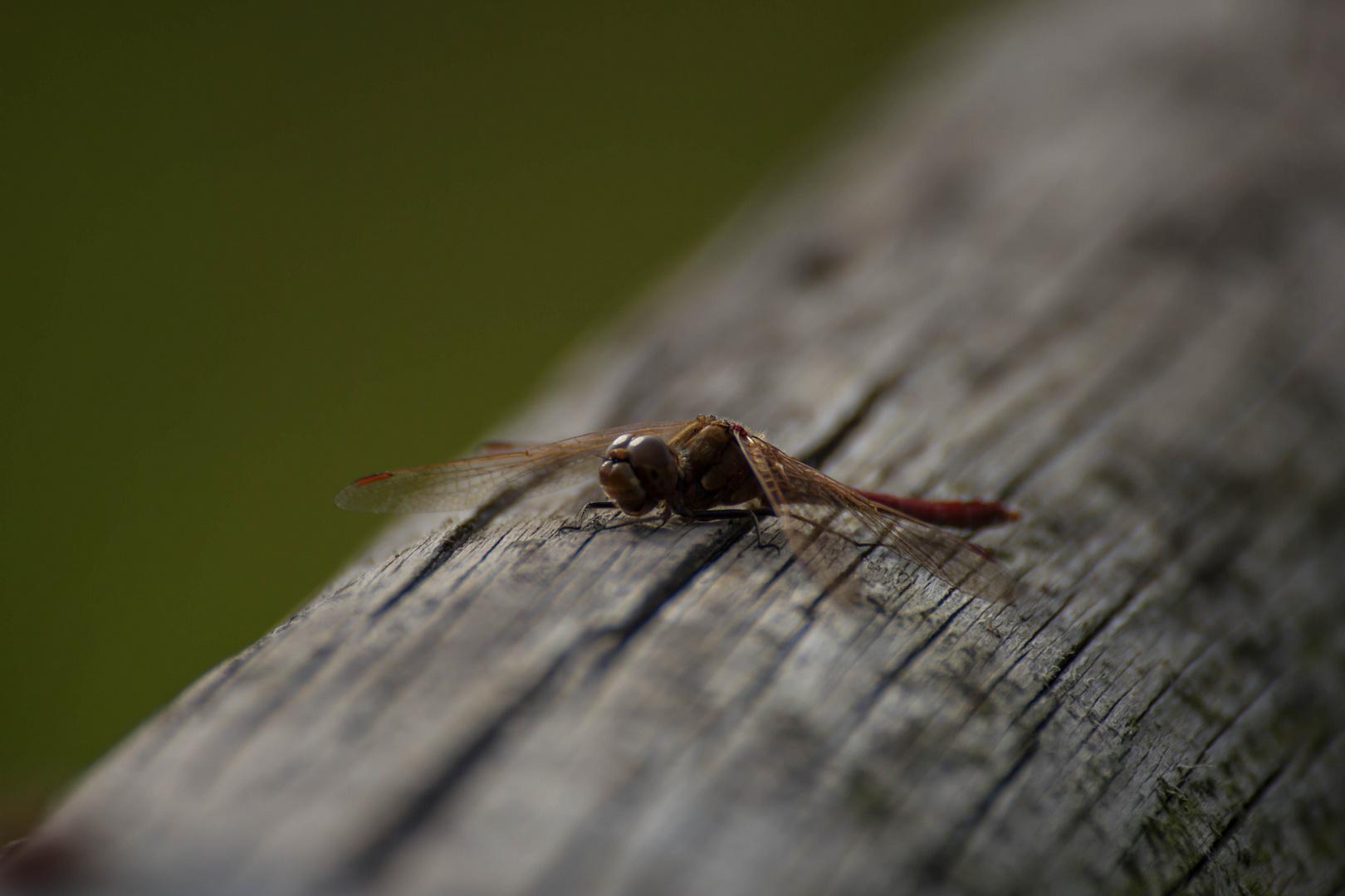 die Libelle sonnte sich ....