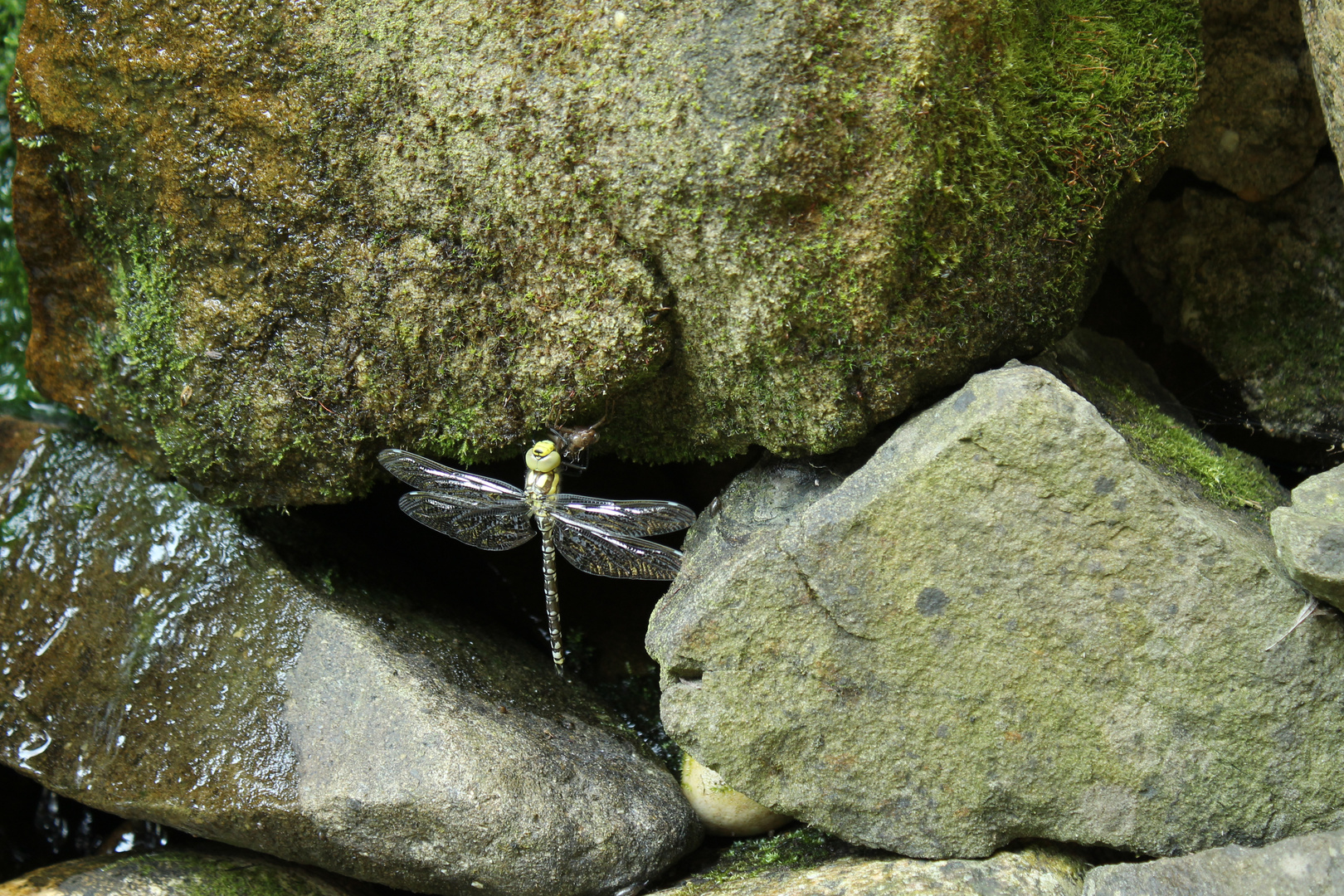 Die Libelle und ihre Beute