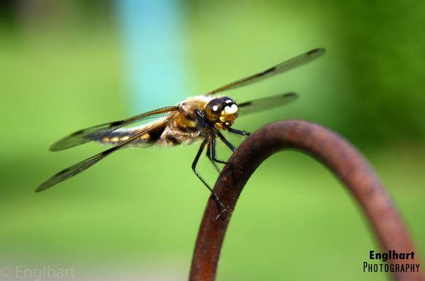 Die Libelle - Wunderwerk der Natur