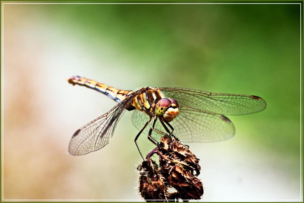 Die Libellen fliegen wieder - nur leider ein Wenig scheu