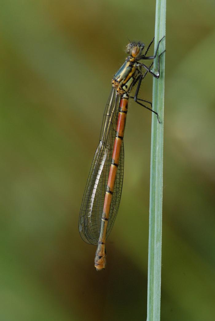 Die Libellensaison ist eröffnet: Eine frühe Adonislibelle