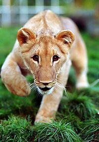 Die Liebe Löwin Tami