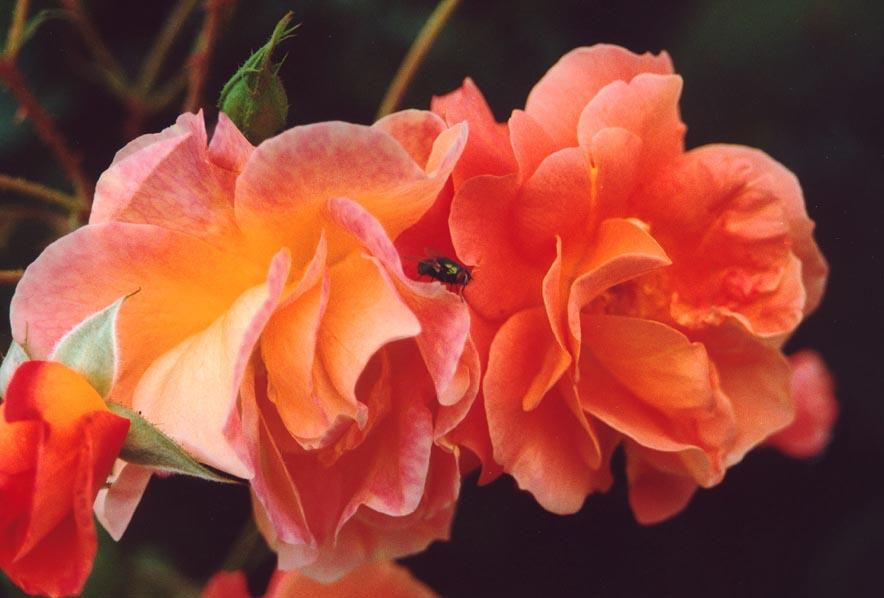 Die Liebe zwischen Fliege und Rose