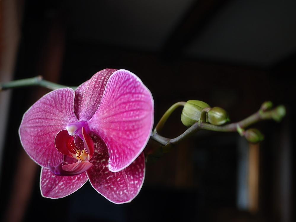 die liebliche Orchidee