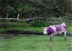 Die lila Kuh.