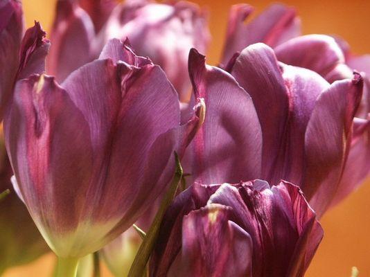 Die lila Tulpe