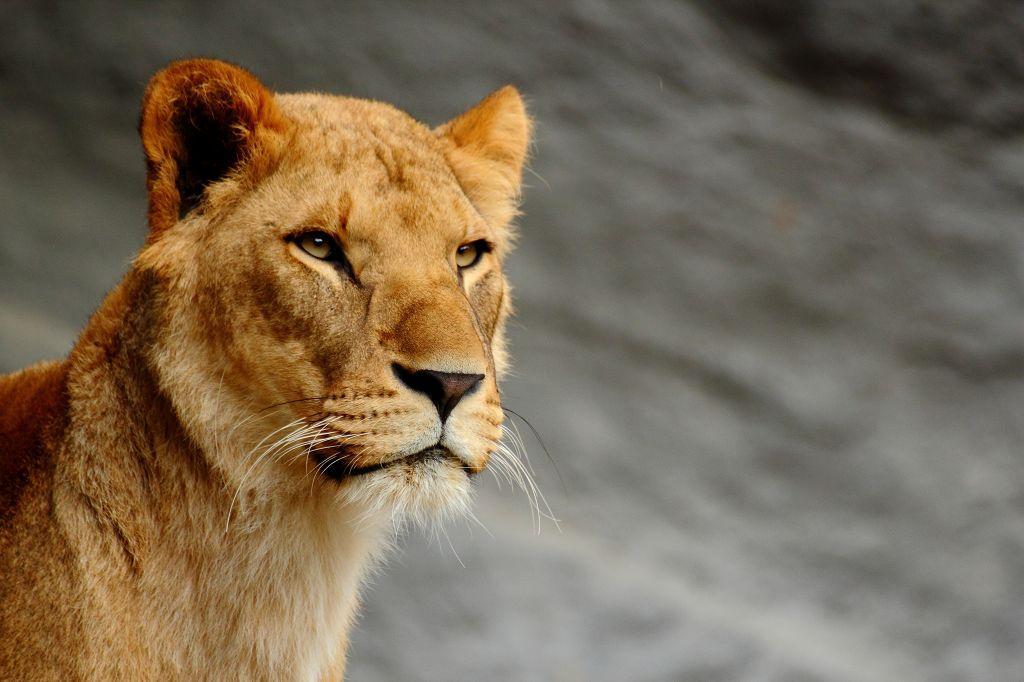 Die Löwendame