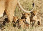 ....Die Löwenmama mit den 4 Jungen..2....