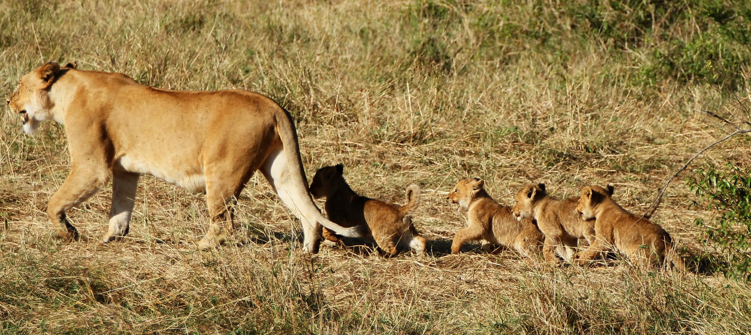 ....Die Löwenmama mit den 4 Jungen....in 3 Bildern....