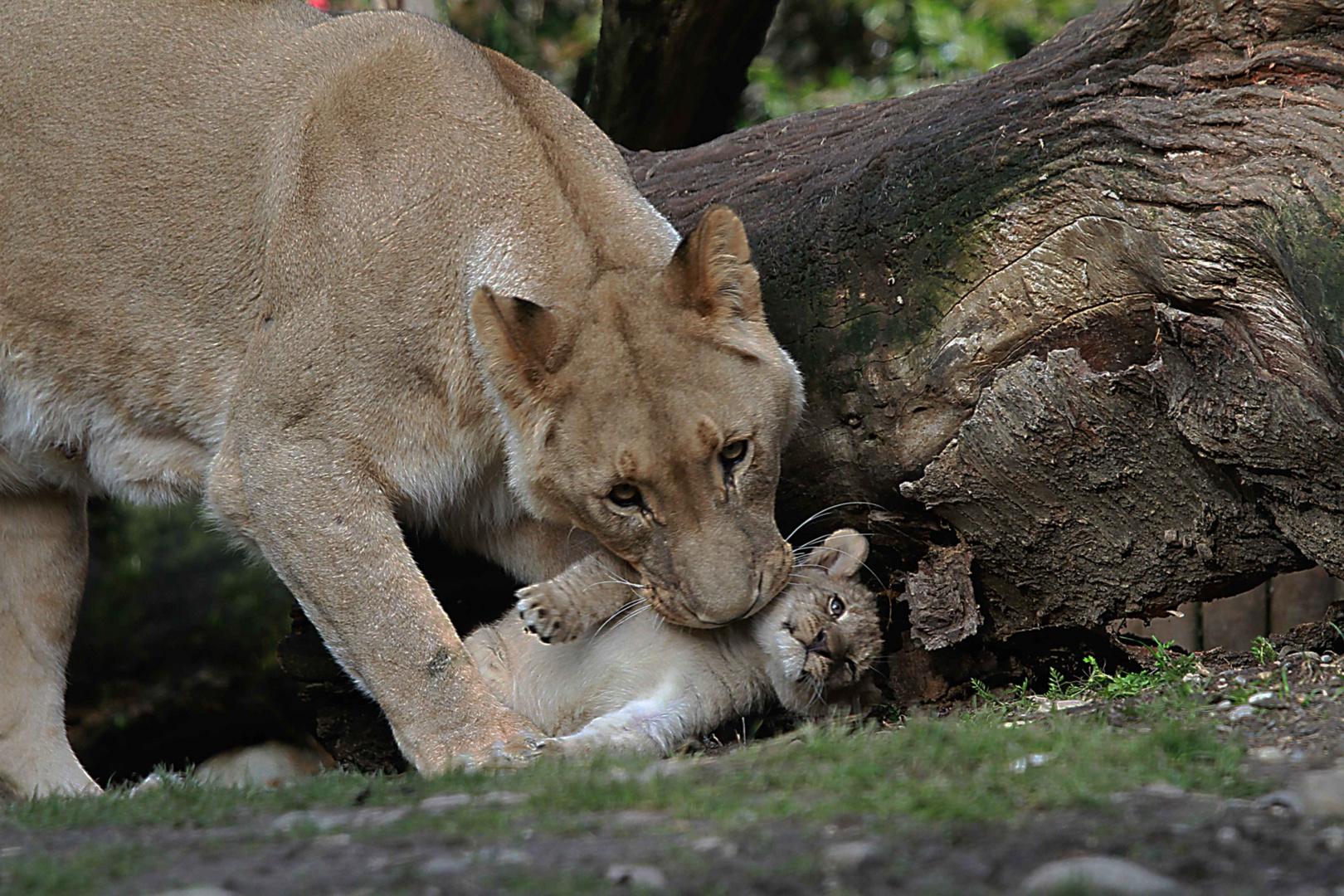 Die Löwenmutter mit dem Nachwuchs !