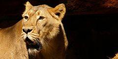 Die Löwin