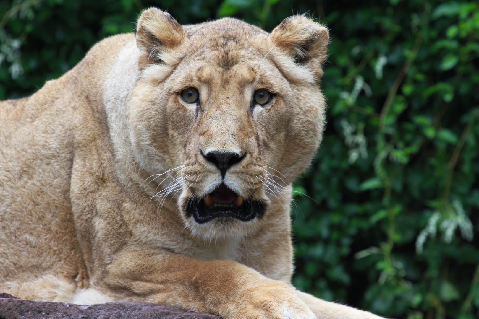 Die Löwin!