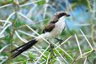 Die Long-tailed Fiscal (Lanius cabanisi), Altvogel,