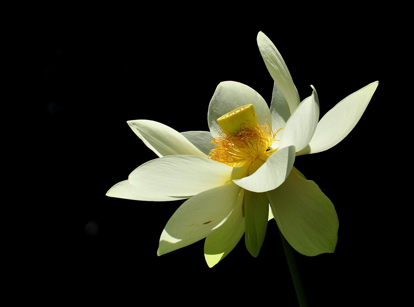 Die Lotus-Blüte
