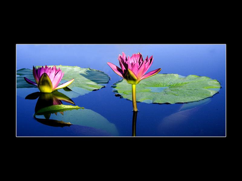 die Lotusblumchen