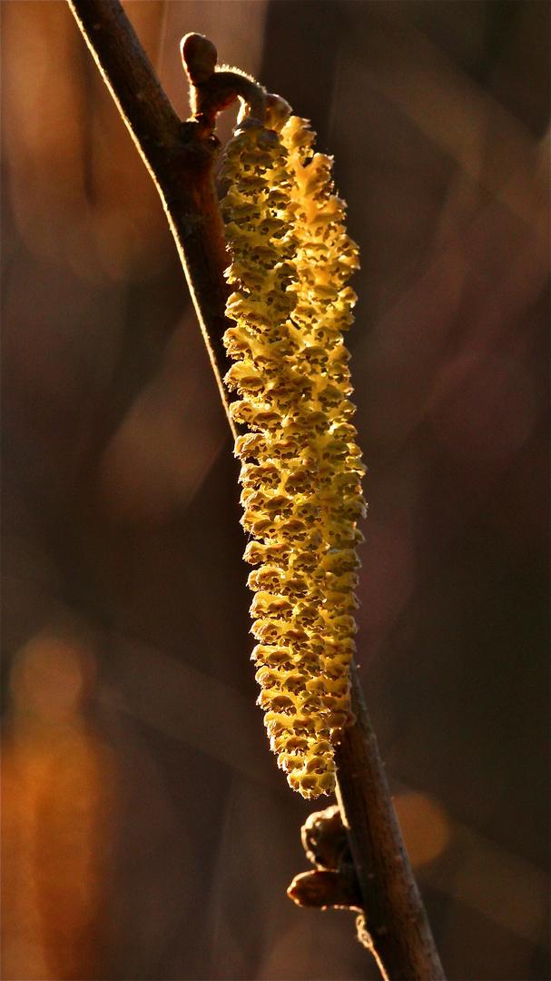 Die männlichen Blütenkätzchen der Haselnuss sind ein untrügliches Zeichen . . .