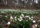 Die Märzenbecher blühen ....