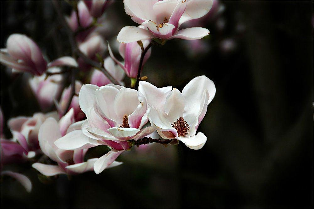 die magnolie foto bild pflanzen pilze flechten. Black Bedroom Furniture Sets. Home Design Ideas