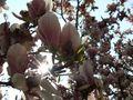 die magnolie by JaHe