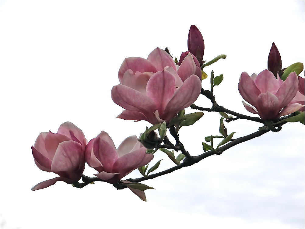 Die Magnolienblüte...