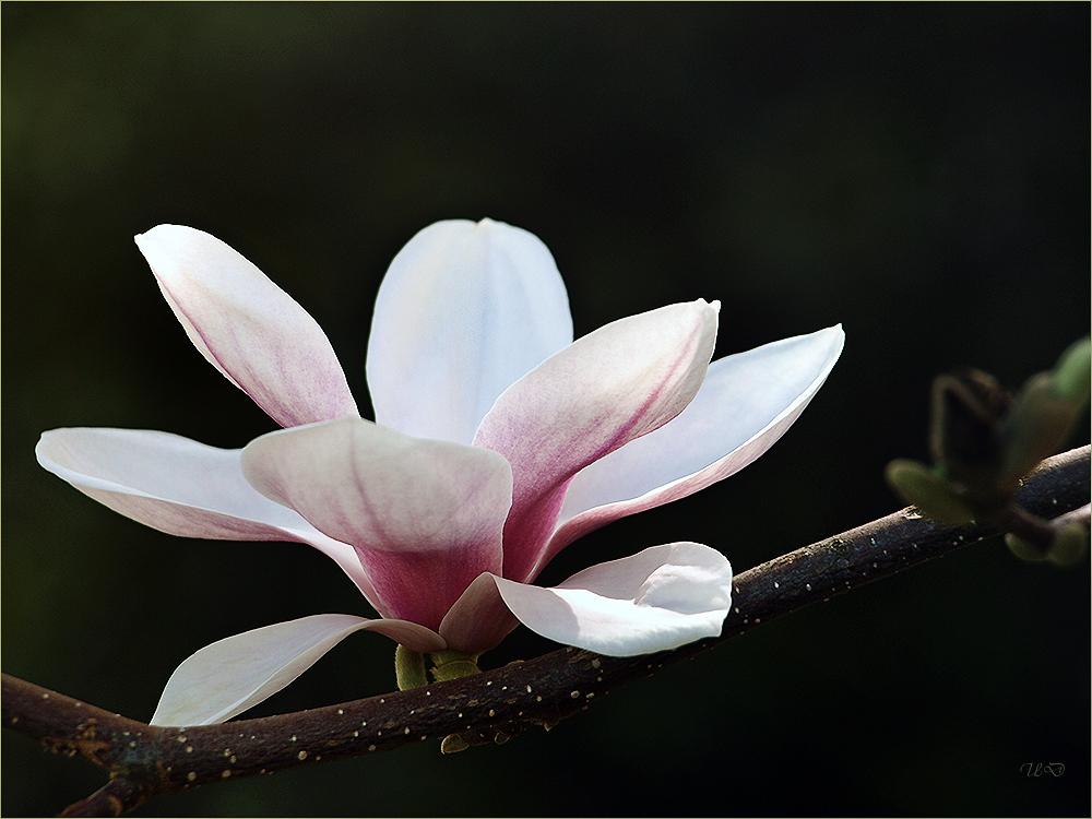 die Magnolienblüte