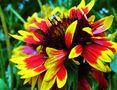 die Malerblume  muss um die Sonne bangen... von SINA