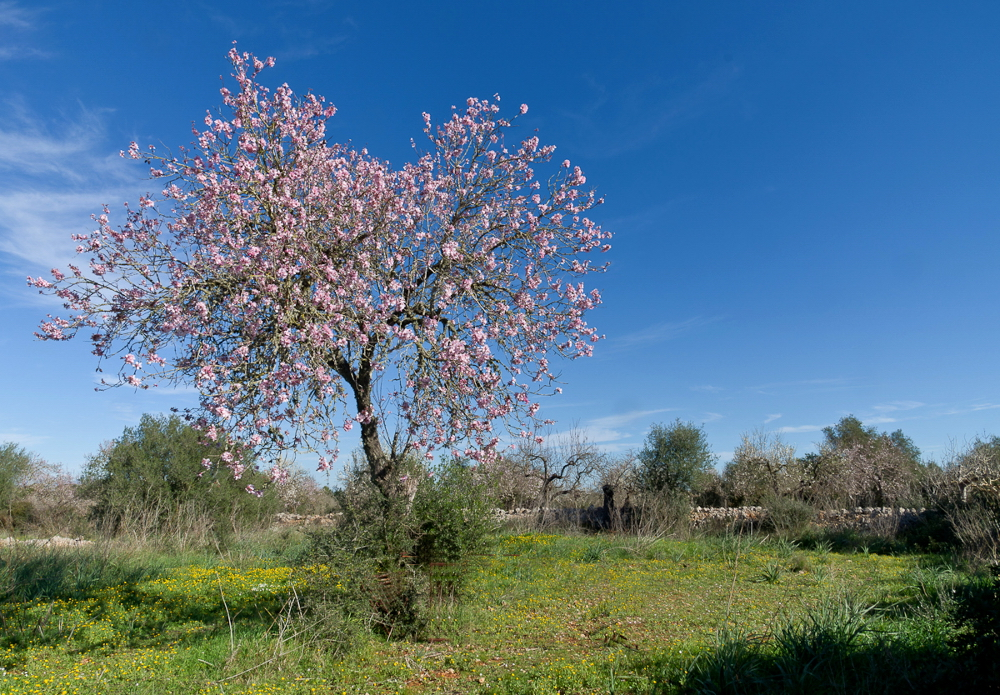 Die Mandelbäume...
