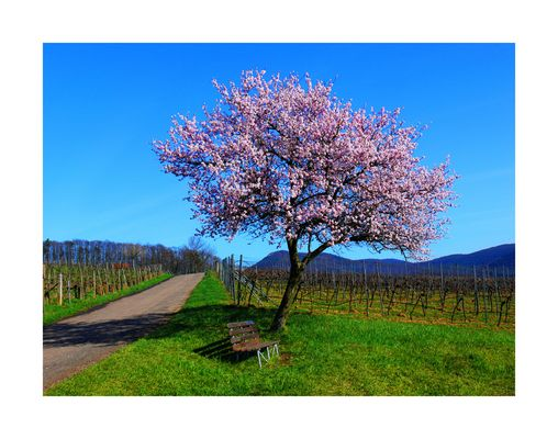 Die Mandelbaumblüte ist eröffnet