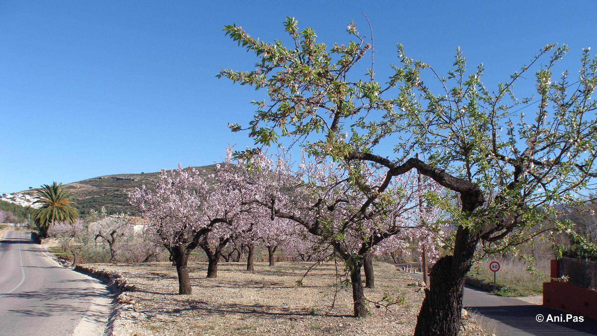 die Mandelbaumblüte neigt sich dem Ende zu - Spanien