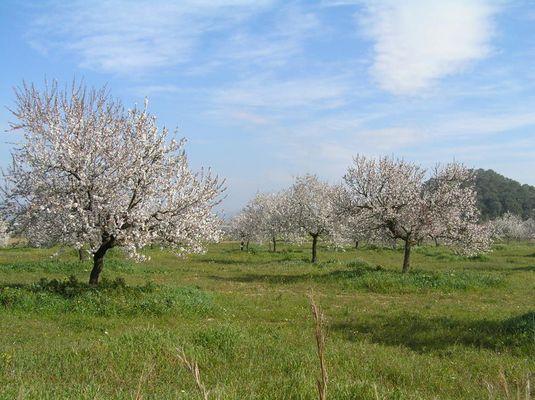 Die Mandelblüte hier auf Ibiza ist immer sehr schön
