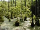 "Die ""Mangroven"" im Jasmunder Nationalpark"