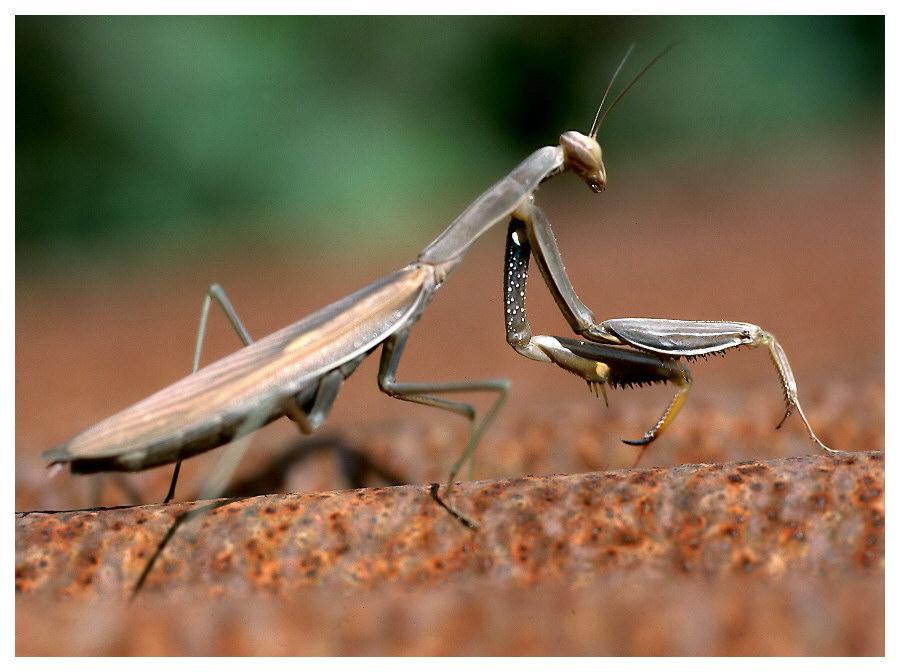 Die Mantis auf dem heißen Blechdach