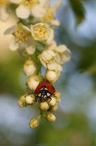 Die Marienkäfer